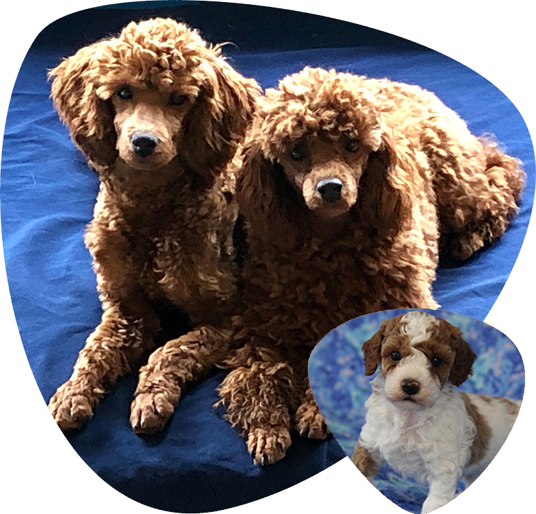 american-poodles