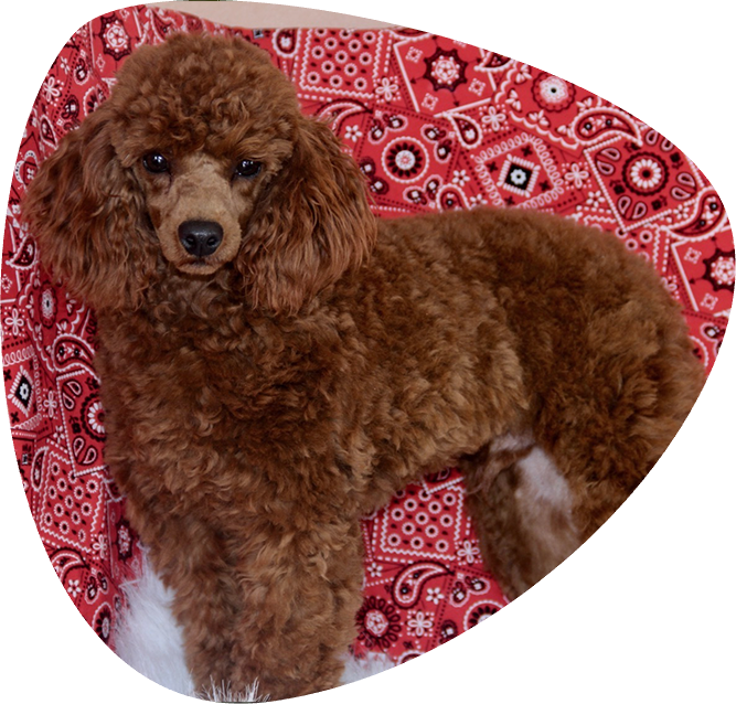 Home All American Poodle